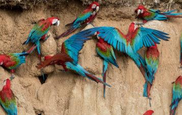 collpa-guacamyos-blanquillo-ornitologia-10d