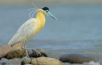 garza-ornitologia-10d-manu