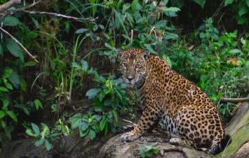 jaguar-zona-reservada-manu
