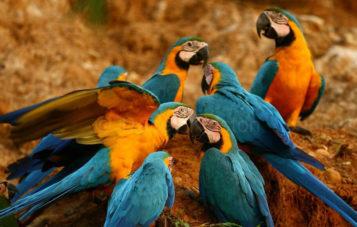 ornitologia-10d-colpa-de-guacamayos