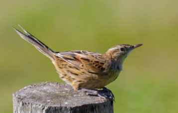 ornitologia-lago-huacarpay-canastero