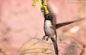 ornitologia-lago-huacarpay-picaflor