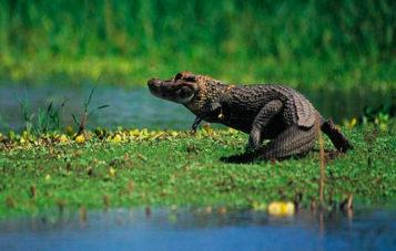 tambopata-caiman