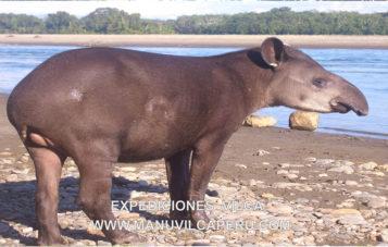 tapir-zona-reservada-manu