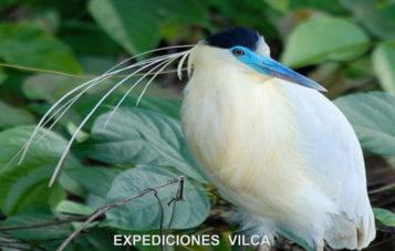 ave-manu-ornitologia