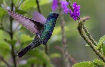 colibri-ornitologia