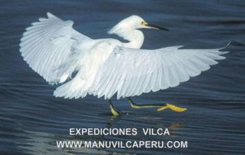 garza-manu-ornitologia