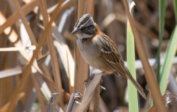 huacarpay-ornitologia-gorrion