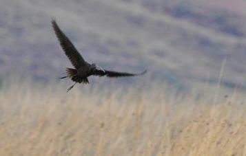 laguna-huacarpay-ornitologia