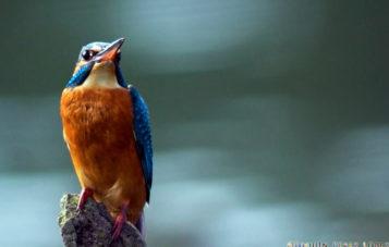 martin-pescador-ornitologia