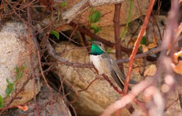 picaflor-de-los-andes-ornitologia
