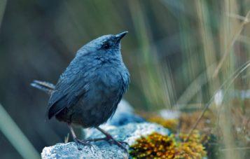 puna-tapaculo-ornitologia