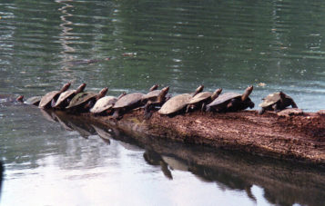tortugas-zona-reservada-manu